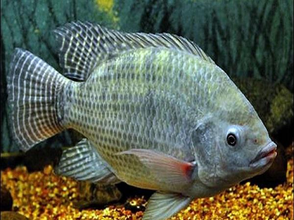 Ý nghĩa giấc mơ thấy ăn cá điềm báo điều gì