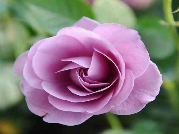 Mơ thấy hoa hồng xui hay hên, đánh đề số mấy?
