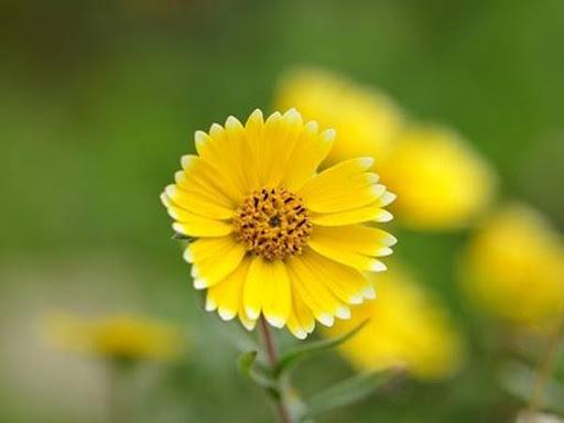 Nằm mơ thấy hoa cúc vàng đánh con gì